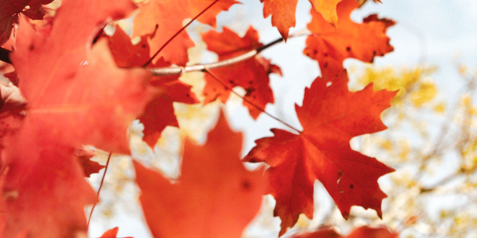 Canada Maple Leaves