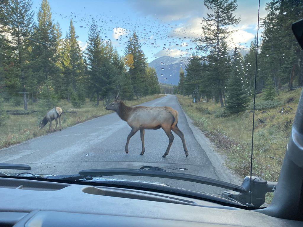 Elk Crossing in Jasper National Park